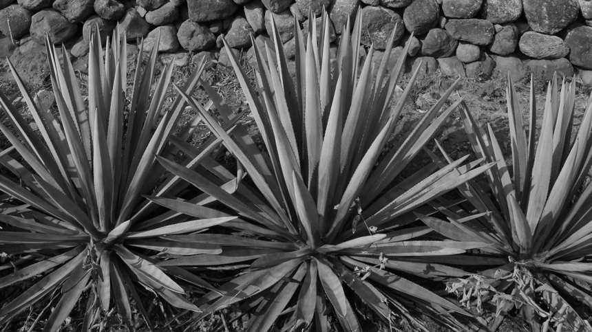 Casa_Dragones_Pure_Essence_of_Agave